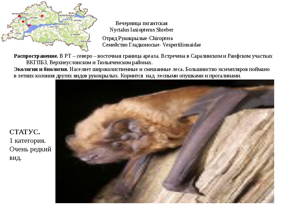 Вечерница гигантская Nyctalus lasiopterus Shreber Отряд Рукокрылые-Chiroptera...