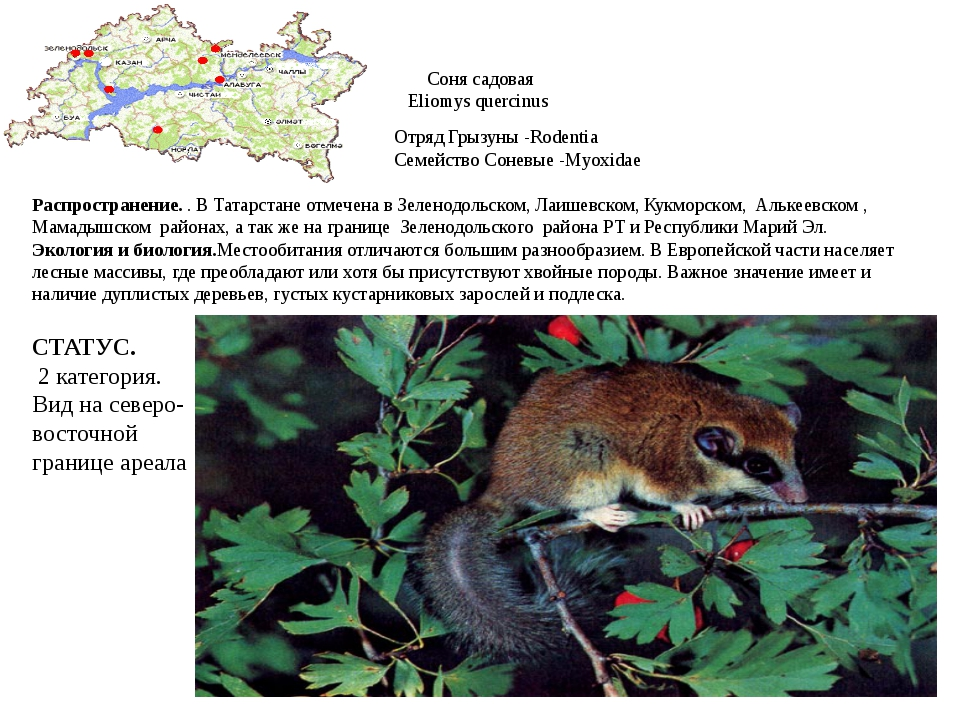 Соня садовая Eliomys quercinus Отряд Грызуны -Rodentia Семейство Соневые -Myo...