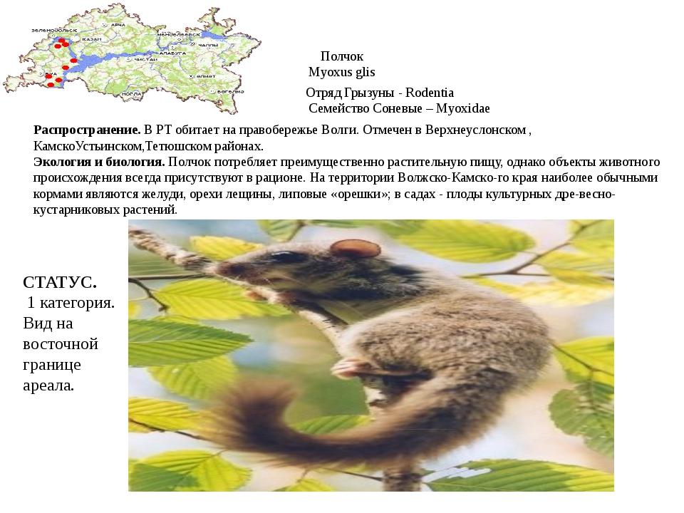 Полчок Myoxus glis Отряд Грызуны - Rodentia Семейство Соневые – Myoxidae Расп...
