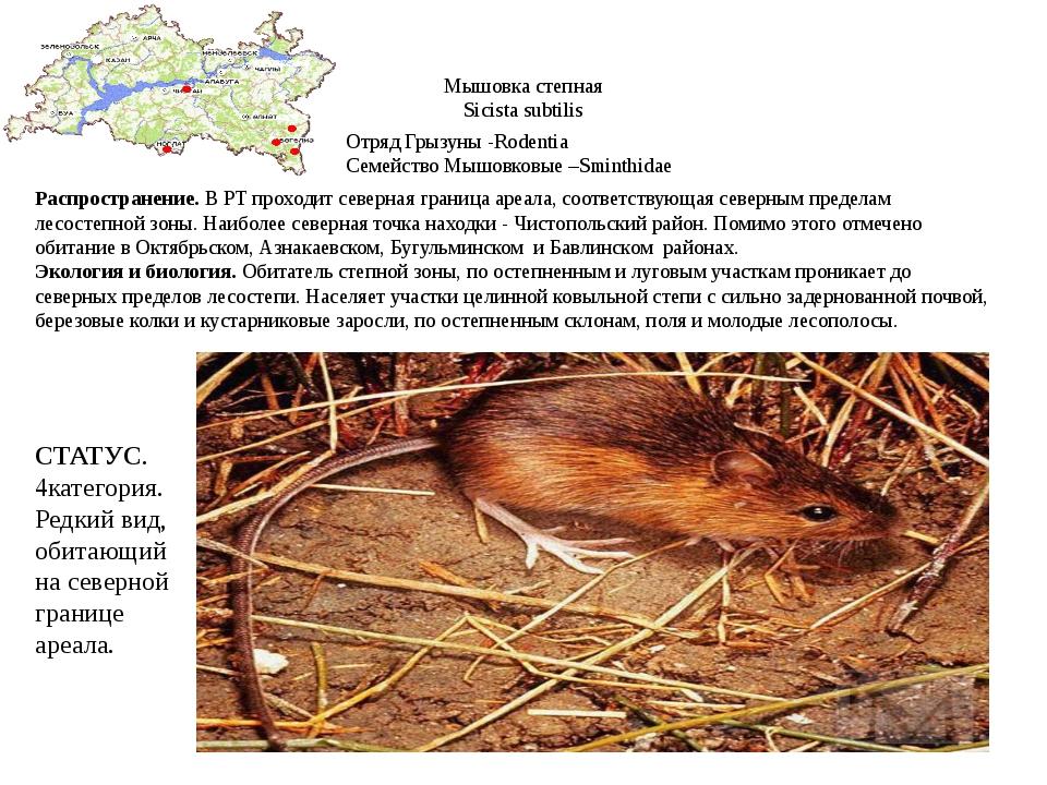Мышовка степная Sicista subtilis Отряд Грызуны -Rodentia Семейство Мышовковые...