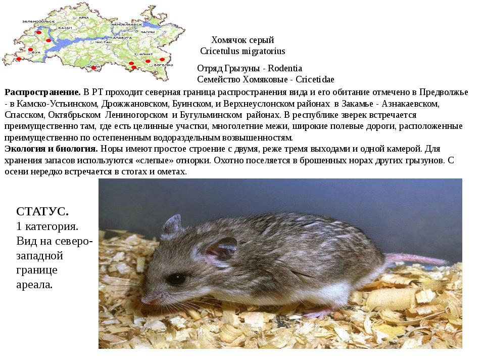 Хомячок серый Cricetulus migratorius Отряд Грызуны - Rodentia Семейство Хомяк...