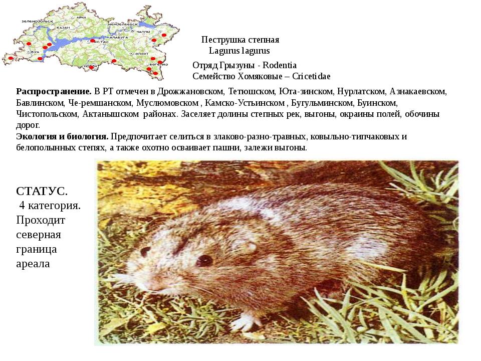Пеструшка степная Lagurus lagurus Отряд Грызуны - Rodentia Семейство Хомяковы...