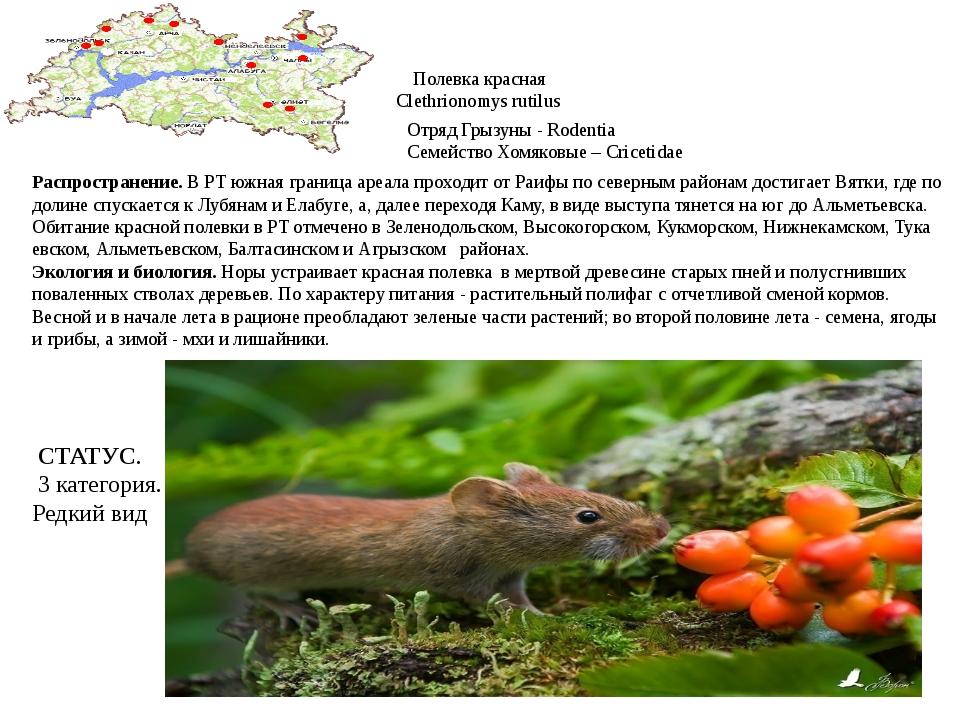 Полевка красная Clethrionomys rutilus Отряд Грызуны - Rodentia Семейство Хомя...
