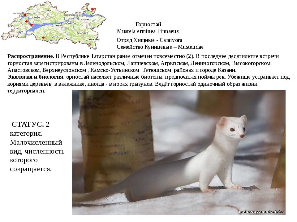 Горностай Mustela erminea Linnaeus Отряд Хищные - Camivora Семейство Куницевы...