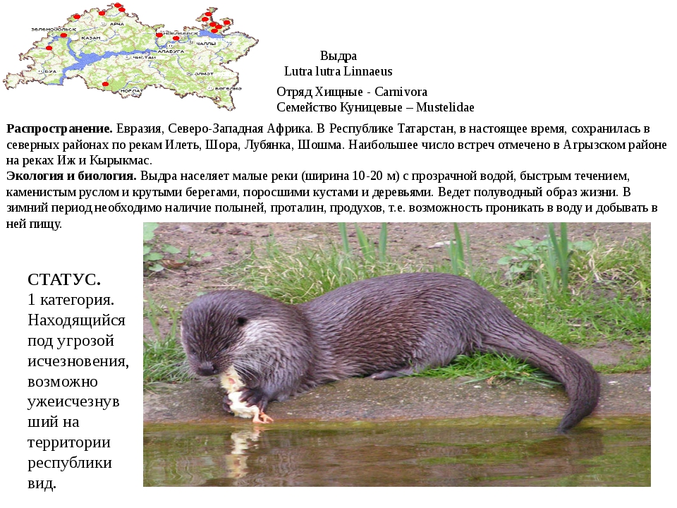Выдра Lutra lutra Linnaeus Отряд Хищные - Carnivora Семейство Куницевые – Mus...
