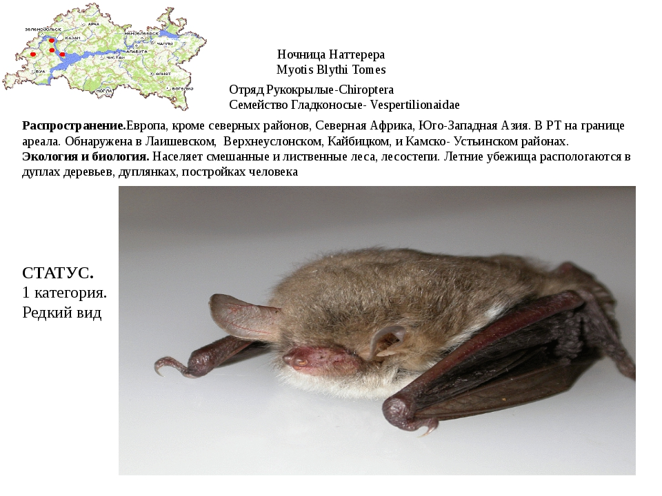 Ночница Наттерера Myotis Blythi Tomes Отряд Рукокрылые-Chiroptera Семейство Г...