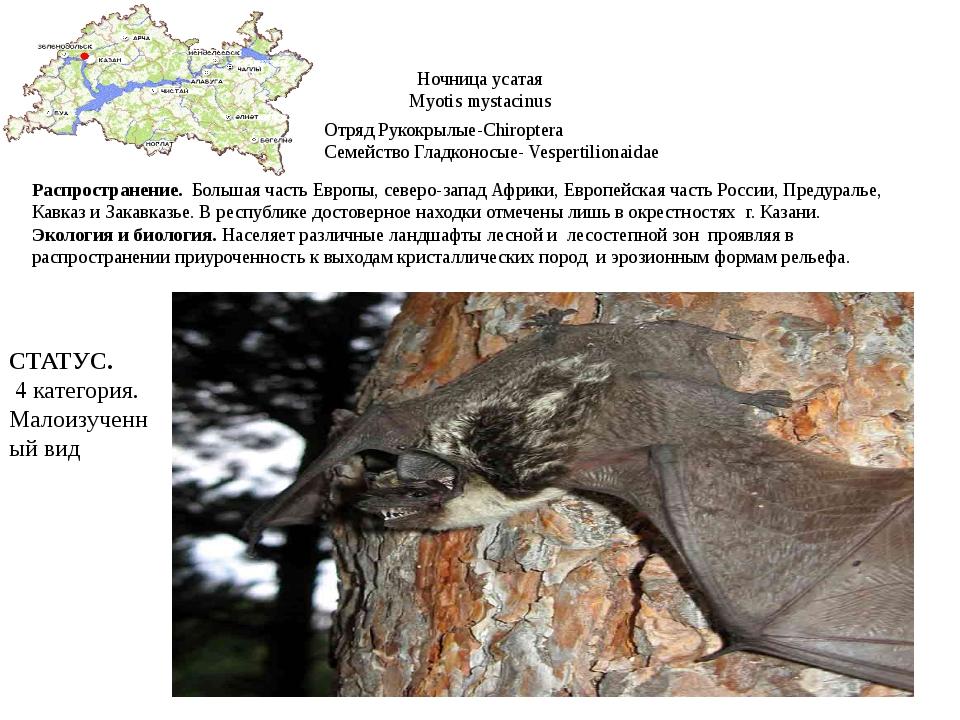 Ночница усатая Myotis mystacinus Отряд Рукокрылые-Chiroptera Семейство Гладко...
