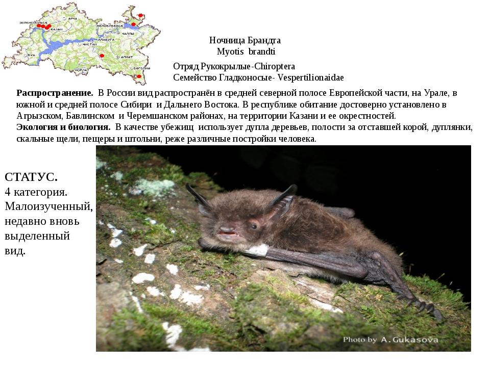 Ночница Брандта Myotis brandti Отряд Рукокрылые-Chiroptera Семейство Гладконо...
