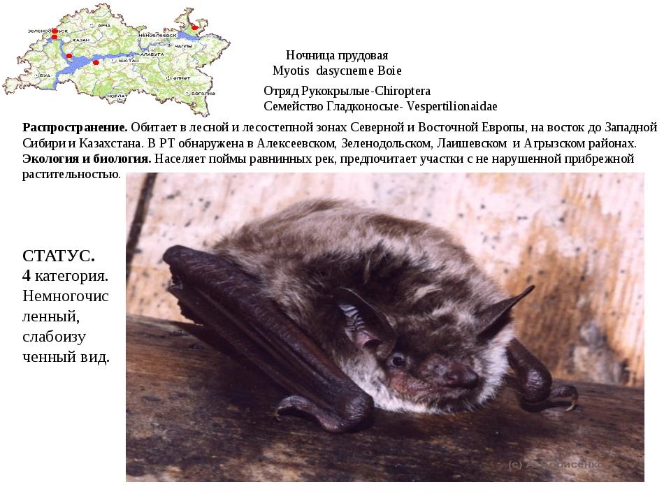 Ночница прудовая Myotis dasycneme Boie Отряд Рукокрылые-Chiroptera Семейство...