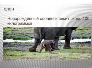 слон Новорождённый слонёнок весит около 100 килограммов. Подробнее на странице