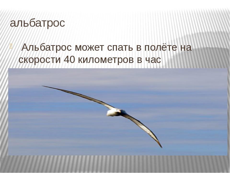 альбатрос Альбатрос может спать в полёте на скорости 40 километров в час Подр...
