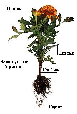 http://psy.tom.ru/bio/image/plant.jpg