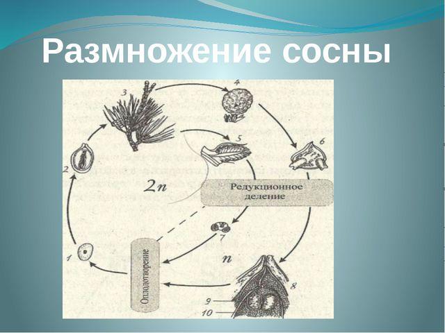 Размножение сосны