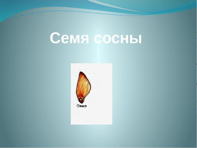 Семя сосны