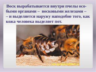 Воск вырабатывается внутри пчелы осо-быми органами – восковыми железами – –