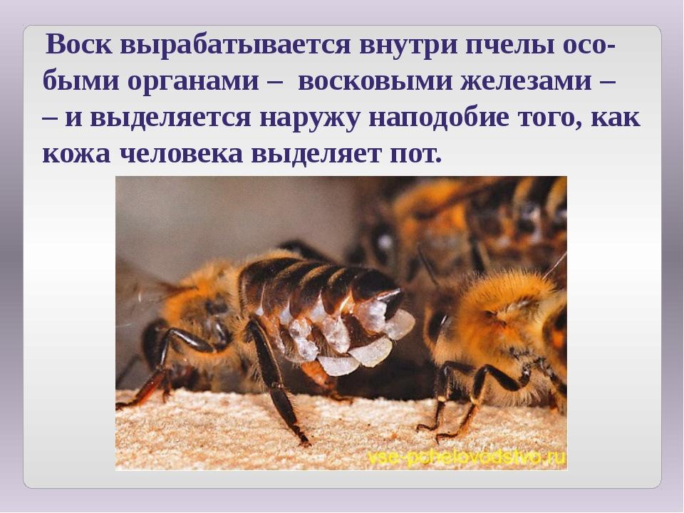Воск вырабатывается внутри пчелы осо-быми органами – восковыми железами – –...