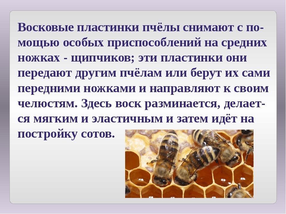 Восковые пластинки пчёлы снимают с по-мощью особых приспособлений на средних...