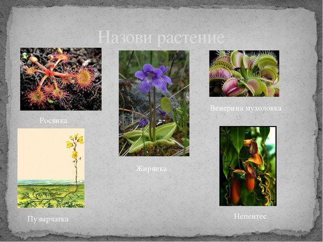 Назови растение Росянка Жирянка Венерина мухоловка Пузырчатка Непентес