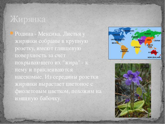 Родина - Мексика. Листья у жирянки собраны в крупную розетку, имеют глянцевую...