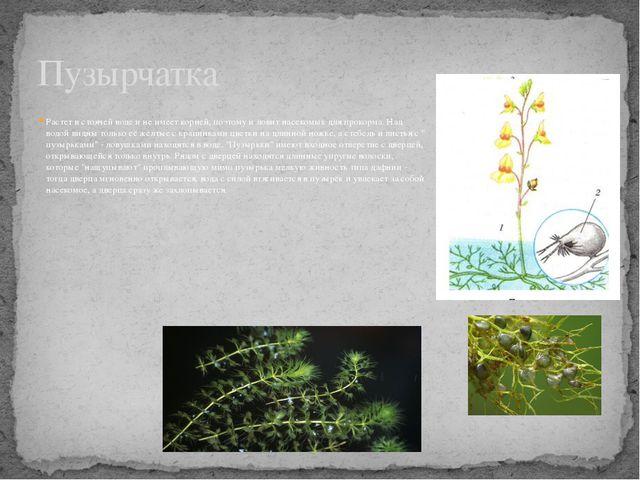 Растет в стоячей воде и не имеет корней, поэтому и ловит насекомых для прокор...