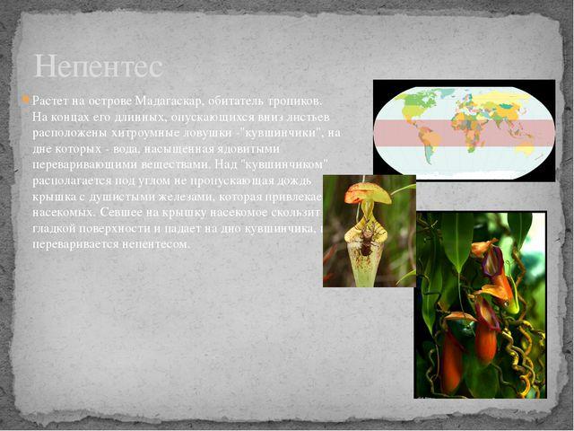 Растет на острове Мадагаскар, обитатель тропиков. На концах его длинных, опус...