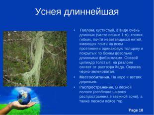 Уснея длиннейшая Таллом. кустистый, в виде очень длинных (часто свыше 1 м), т