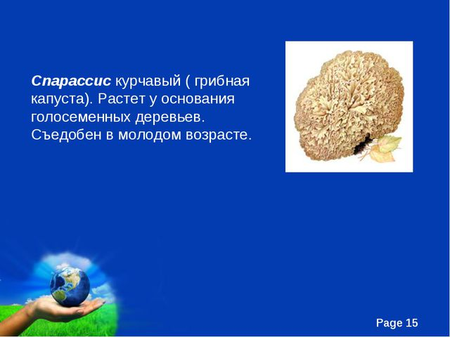 Спарассис курчавый ( грибная капуста). Растет у основания голосеменных деревь...