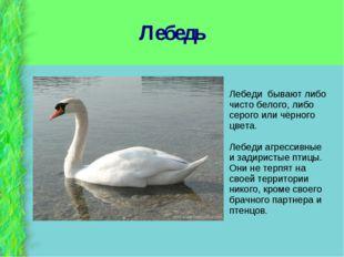 Лебедь Лебеди бывают либо чисто белого, либо серого или чёрного цвета. Лебеди