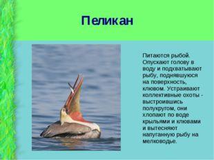 Пеликан Питаются рыбой. Опускают голову в воду и подхватывают рыбу, поднявшую