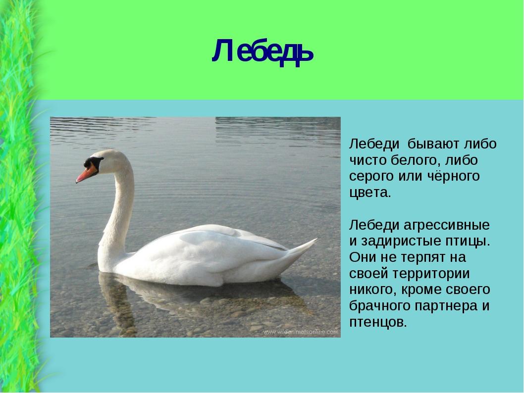 Лебедь Лебеди бывают либо чисто белого, либо серого или чёрного цвета. Лебеди...