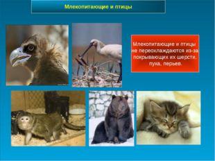Млекопитающие и птицы не переохлаждаются из-за покрывающих их шерсти, пуха, п