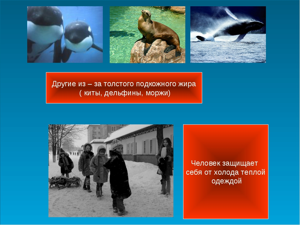 Другие из – за толстого подкожного жира ( киты, дельфины, моржи) Человек защи...