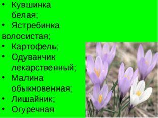 Кувшинка белая; Ястребинка волосистая; Картофель; Одуванчик лекарственный; Ма