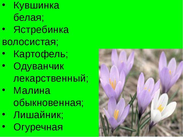 Кувшинка белая; Ястребинка волосистая; Картофель; Одуванчик лекарственный; Ма...