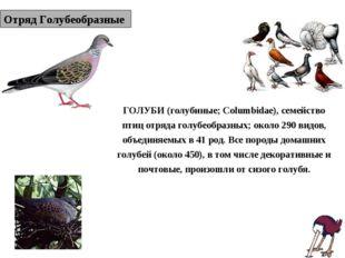 Отряд Голубеобразные ГОЛУБИ (голубиные; Columbidae), семейство птиц отряда го