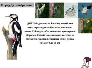 Отряд Дятлообразные ДЯТЛЫ (дятловые; Picidae), семейство птиц отряда дятлообр