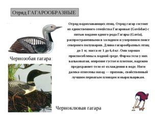 Отряд ГАГАРООБРАЗНЫЕ Чернозобая гагара Отряд водоплавающих птиц. Отряд гагар
