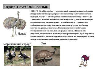 Отряд СТРАУСООБРАЗНЫЕ Нанду Эму Африканский страус СТРАУС (Struthio camelus)