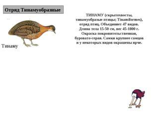 Отряд Тинамуобразные Тинаму ТИНАМУ (скрытохвосты, тинамуобразые птицы; Tinami