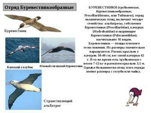 Отряд Буревестникообразные Буревестник Капский голубок Странствующий альбатро