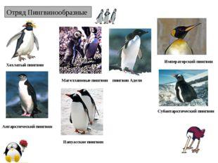 Отряд Пингвинообразные Хохлатый пингвин Императорский пингвин пингвин Адели А