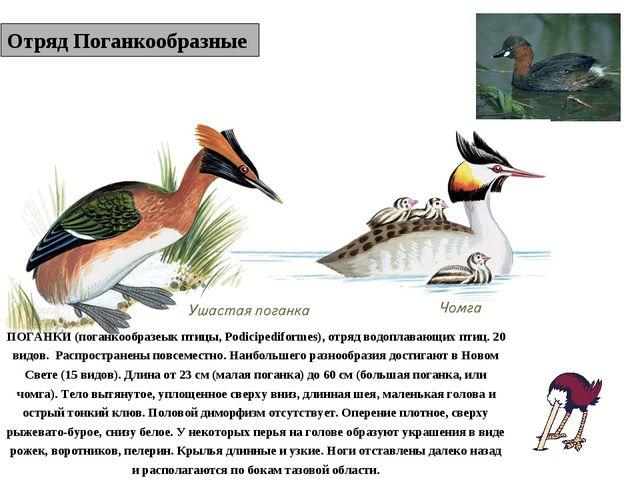 Отряд Поганкообразные ПОГАНКИ (поганкообразеык птицы, Podicipediformes), отря...