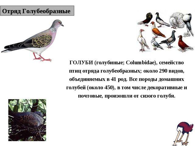 Отряд Голубеобразные ГОЛУБИ (голубиные; Columbidae), семейство птиц отряда го...