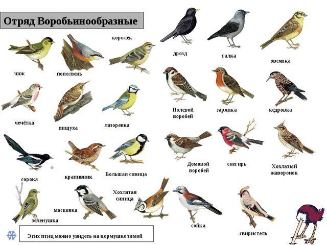 Отряд Воробьинообразные Этих птиц можно увидеть на кормушке зимой чиж поползе...