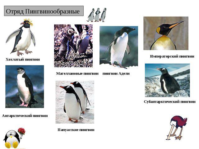 Отряд Пингвинообразные Хохлатый пингвин Императорский пингвин пингвин Адели А...