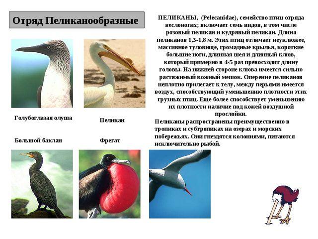 Отряд Пеликанообразные Голубоглазая олуша Пеликан Большой баклан Фрегат ПЕЛИК...