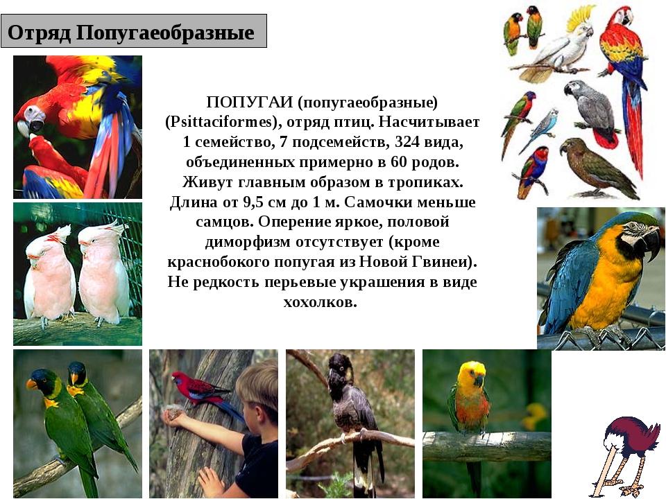 Отряд Попугаеобразные ПОПУГАИ (попугаеобразные) (Psittaciformes), отряд птиц....