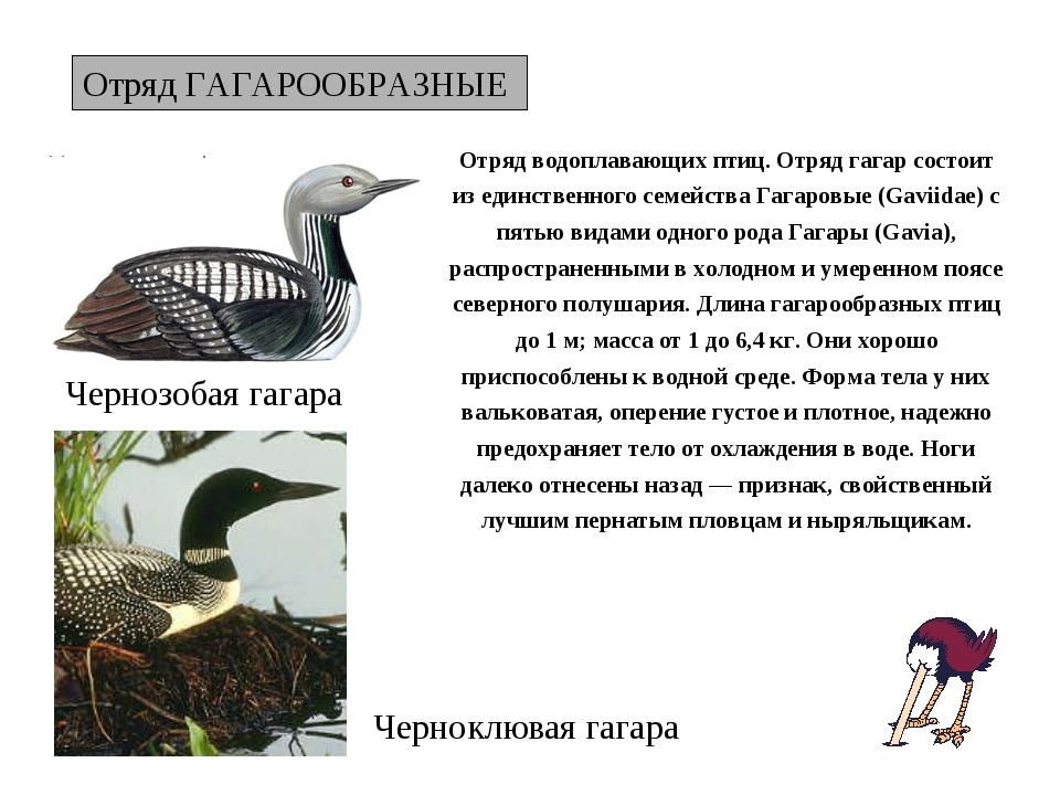 Отряд ГАГАРООБРАЗНЫЕ Чернозобая гагара Отряд водоплавающих птиц. Отряд гагар...