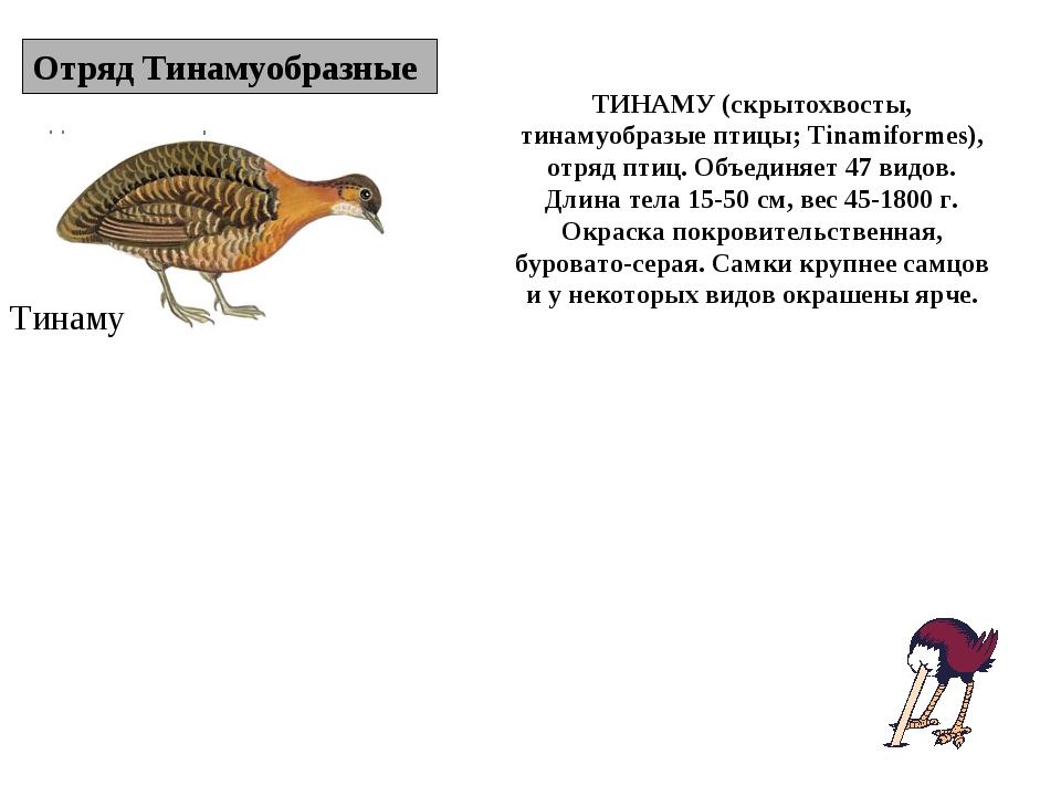 Отряд Тинамуобразные Тинаму ТИНАМУ (скрытохвосты, тинамуобразые птицы; Tinami...