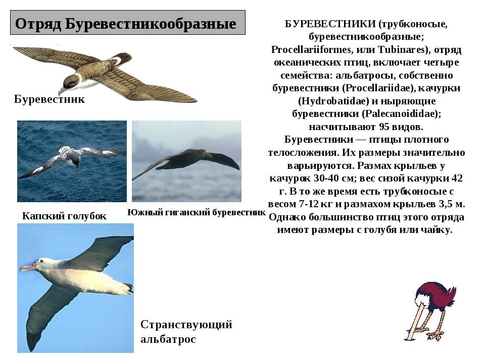 Отряд Буревестникообразные Буревестник Капский голубок Странствующий альбатро...